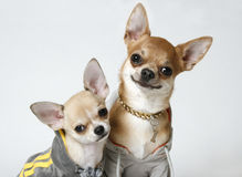 Chihuahuas in Sweatshirts Royalty Free Stock Photo