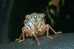 2 cicada EN πρόσωπο Στοκ Φωτογραφία