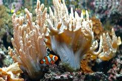 2 clownfishocellaris Royaltyfri Fotografi