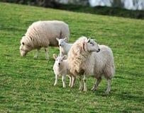 2 coppie le pecore & gli agnelli (aries del Ovis) Immagini Stock Libere da Diritti