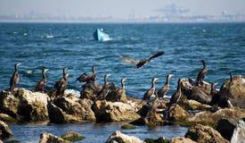2 cormorantrocks Arkivbild