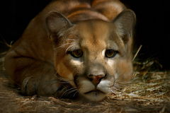 2 cougar Στοκ εικόνα με δικαίωμα ελεύθερης χρήσης