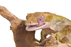 2 crested gecko Стоковое Изображение