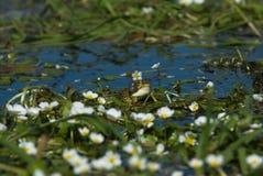 2 croaking βάτραχος Perez s Στοκ εικόνα με δικαίωμα ελεύθερης χρήσης