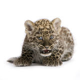 2 cub leopard μήνες περσικοί Στοκ Φωτογραφία