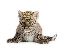 2 cub leopard μήνες περσικοί Στοκ φωτογραφία με δικαίωμα ελεύθερης χρήσης