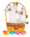 2 cute Easter Ragdoll kittens. 2 Ragdoll kittens in yellow Easter basket with colorful eggs, on white background stock photos