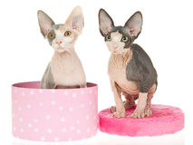 2 Cute hairless Sphynx kittens Stock Photo