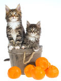 2 Cute Maine Coon kittens in barrel Royalty Free Stock Image