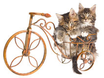 2 Cute Maine Coon kittens on mini bicycle. 2 Maine Coon kittens sitting on miniature bicycle, on white background Stock Photos
