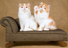 2 cute Persian kittens. Cute red and white Persian kittens on miniature couch sofa Royalty Free Stock Images