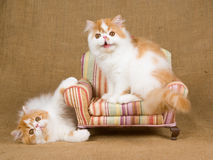 2 cute Persian kittens. Cute red and white Persian kittens on miniature chair royalty free stock images