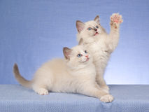 2 cute Ragdoll kittens on blue background. 2 Pretty and cute Ragdoll kittens sitting in a row, on blue background fabric royalty free stock images