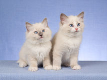 2 cute Ragdoll kittens on blue background. 2 Pretty and cute Ragdoll kittens sitting in a row, on blue background fabric stock photography