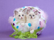 2 Cute Ragdoll kittens in Easter Egg. Pretty and cute Ragdoll kittens sitting in Easter egg decorated with feathers, colored dots and green ribbon, on lilac Royalty Free Stock Photos