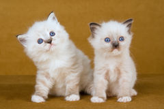 2 Cute Ragdoll kittens gold background. 2 Cute Ragdoll kittens sitting on gold background stock photography