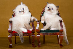 2 Cute Ragdoll kittens on mini chairs. 2 Cute Ragdoll kittens sitting on miniature victorian chairs, on gold background royalty free stock photo