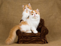 2 Cute red and white Persian kittens. Pretty and cute red and white Persian kittens sitting on miniature brown chair, against hessian background stock images
