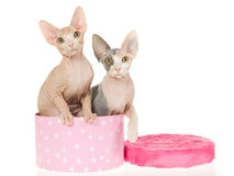 2 Cute Sphynx kitten in pink gift box Stock Photos