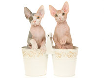 2 Cute Sphynx kittens in double buckets Stock Photography