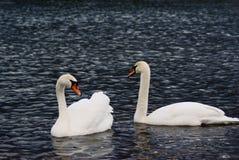 2 cygnes de couples Photo libre de droits