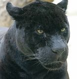 2 czarna pantera Fotografia Stock