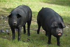 2 czarny świnia fotografia stock