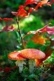 2 czerwieni muchomor Obraz Stock