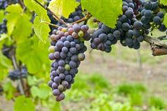 2 czerwieni winnicy wino Obrazy Royalty Free