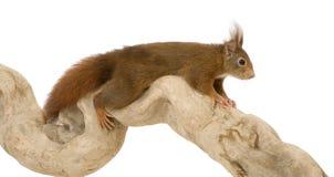 2 czerwonego eurasian sciurus vulgaris wiewiórczego roku obraz stock