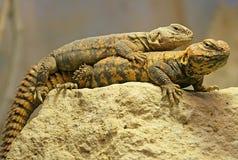 2 dabb蜥蜴撒哈拉大沙漠 免版税库存图片