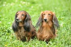 2 dachshunds Стоковые Изображения RF