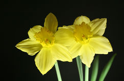 2 daffodils. Isolated daffodils with black background Stock Image