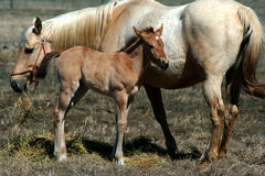 2 day old colt and Mare Royalty Free Stock Photos