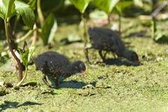2 de kuikens van het waterhoen Stock Foto's
