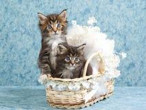 2 de leuke katjes van de Wasbeer van Maine in minibabyvoederbak Royalty-vrije Stock Foto