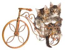 2 de leuke katjes van de Wasbeer van Maine op minifiets Stock Foto's