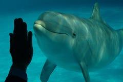 2 delfinów ręki istota ludzka Zdjęcie Royalty Free