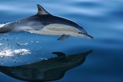 2 delfin för 4 common Arkivfoton