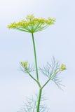 2 dofta nya för fennel Royaltyfri Bild