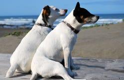 2 Doggs que huele el aire de mar Imagen de archivo libre de regalías