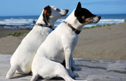 2 Doggs sniffing the sea air. Two white Jack Russell Terriers with brown and black markings on their heads sitting on a picnic table on a beach with the ocean in Royalty Free Stock Image