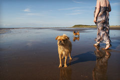 2 dogs on beach woman walking Stock Image