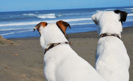 2 dogs looking at the ocean. Two white Jack Russell Terriers one with brown ears the other with one black ear, photographed from behind are looking at the ocean Royalty Free Stock Photos