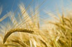 2 dojrzała pszenica złota Fotografia Stock