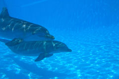 2 dolphins. Swimming underwater in the ocean Royalty Free Stock Photography
