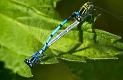 2 dragonflies Stock Image