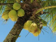 2 drzewa kokosowe Zdjęcie Stock
