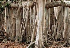 2 drzewo banyan Zdjęcia Royalty Free