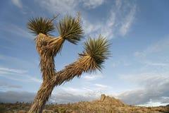 2 drzewo Joshua Fotografia Royalty Free